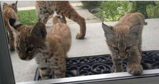 This Home Was Visited By A Family Of Bobcats!