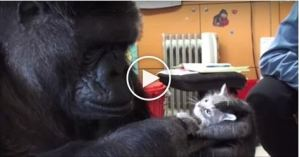 Koko The Gorilla Really Loves His Tiny Kittens