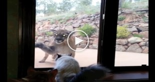 Fearless Cat Confronts Big Scary Mountain Lion. What Happens Next is Truly Amazing..