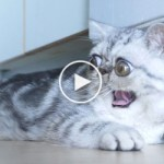 See The Cutest Exotic Cat That Always Looks Scared…
