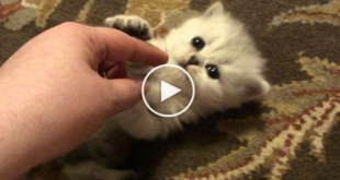 Adorable Persian Kitties Playing With Their Human Mom