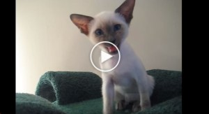 This Siamese Cat Really Loves Talking To His Human. So HILARIOUS!