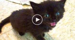 Little Cute Kitten Has The Loudest Meow. You Must See..