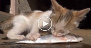 Sweet Kitty Really Enjoys Eating Fish