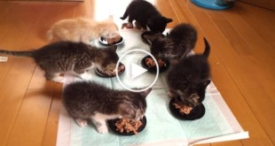 6 Hungry Kittens Enjoying Their Lunch Time. So Cute To Watch