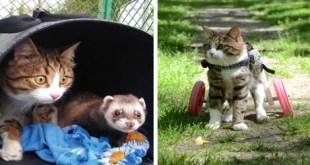 Cat In Wheelchair Make Best Friends With a Tiny Ferret