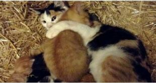 big-kitten-adopted-by-cat-mom