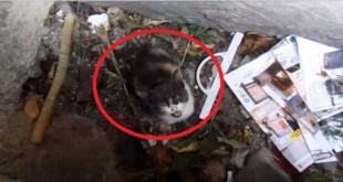 Tiny Poor Kitty Trapped In Storm Drain Meowing Desperately For Help Is Rescued
