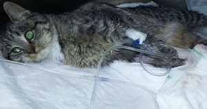 Some Evil Person Cut Off Cat`s Toe. Luckily She Survived The Deadly Accident.