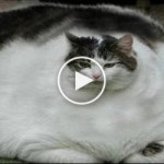 These Are the 5 Fattest Cats In The World. I Couldn`t Believe My Eyes