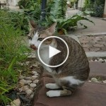 Amputee Cat With Only Two Legs Never Gives Up ! Hero Cat !