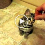 Sweet Bengal Kitty Fascinated With Hand. Cute Video !