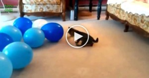 Why Cats Are So Obsessed With Balloons ? Hilarious VIDEO ! Must Watch !