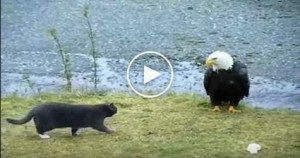 Eagle Stole Cat`s Food. The Cat Was Very Confused !