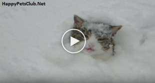 This Cute Kitty Burrows In The Snow. Incredible Video. Must Watch