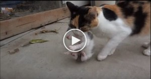 Mom Cat Carries Her Newborn Kitten To a Safe Place. Amazing Video !