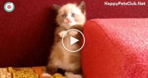 Shy Tiny Kitten Frightened Of Vacuum Cleaner