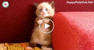 Shy Tiny Kitten Frightened Of Vacuum Cleaner