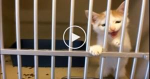 Tiger Kitten Asking Man To Adopt Him At the Shelter. Heartwarming !