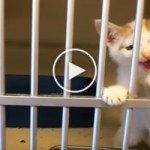 Tiger Kitten Asking Man To Adopt Him At the Shelter. Heartwarming !