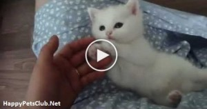 Wonderful White Little Kitten Playing With Her Human. Cuteness Overloaded