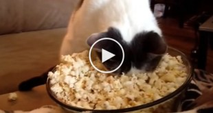 Cat Warms Her Face In Popcorn. Hilarious Video !