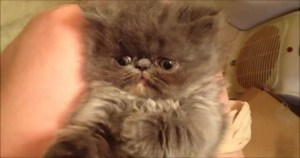 Himalayan Kitten Can`t Stay Awake To Play With Her Human. Cute Video .