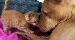 Pit Bull Absolutely Adores His Rescued Tiny Kitten. Just Incredible !