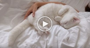 White Cat Purring and Waking Up With His Mommy Every Morning