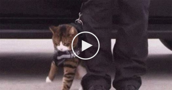 This Is The Reason Why Police Cats Will Never Be A Thing !