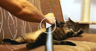 Cat Likes Being Vacuum Cleaned. Unbelievable Video !