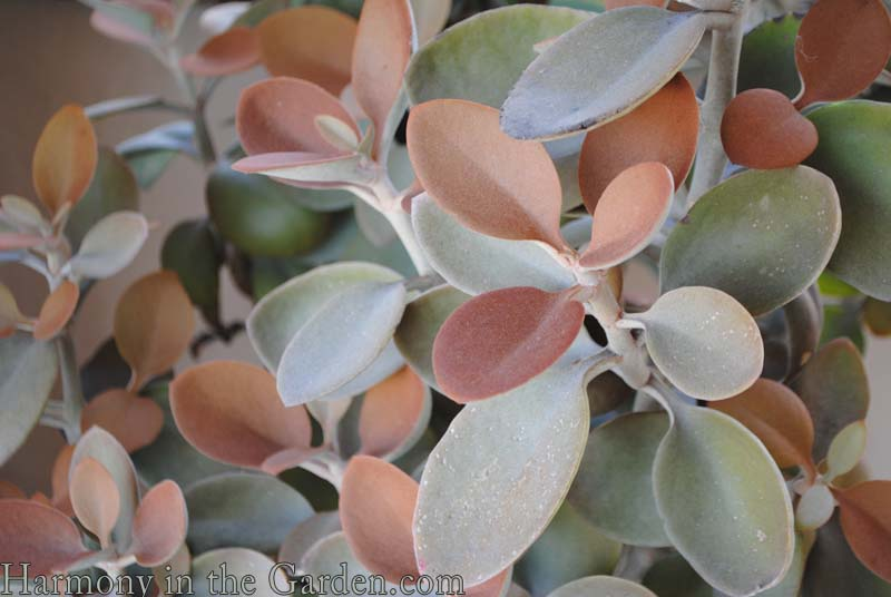 Kalanchoe orgyalis 'Copper Spoons' copy