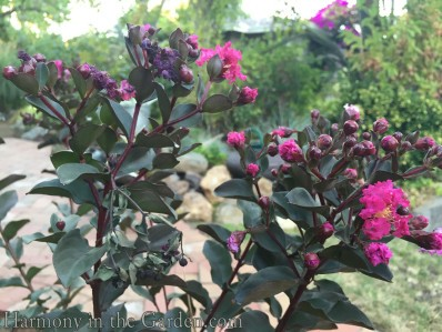 'Mystic Magenta' Black Diamond Series Crape Myrtle