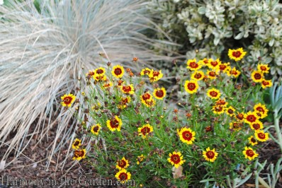 Coreopsis Coloropsis Salsa