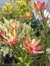 Drought Tolerant Superstars for the Winter Garden – Part II