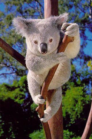 Rain Fall Live Wallpaper Part 1 Harry Bhullar Koala Tropical Rainforest