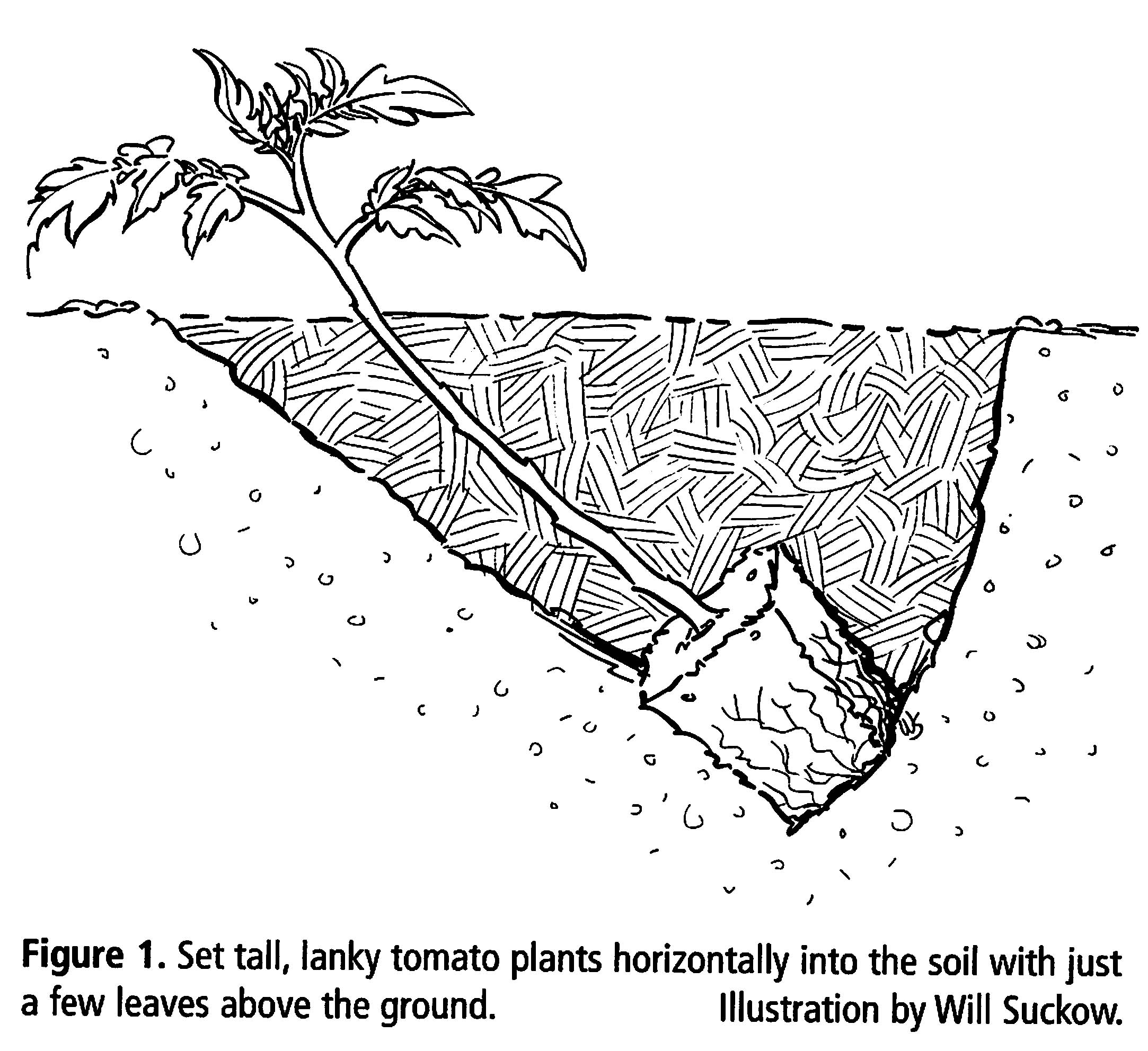 prune tomatoes diagram of tomato plant