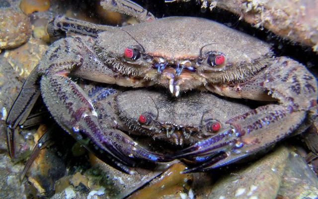 post_uk_crabs
