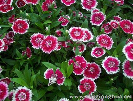 hoa-cam-chuong-dianthus1