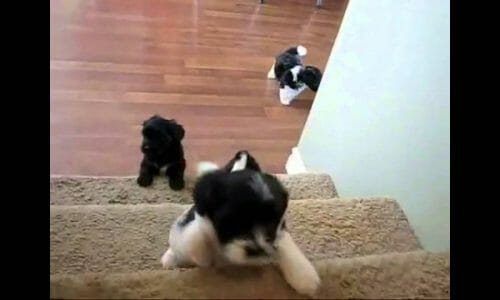Havanese Puppy Roscoe At 7 Weeks Playing Fetch