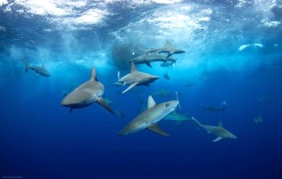 shark_diving_hawaii