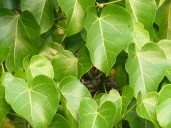 Small Of Tree With Heart Shaped Leaves
