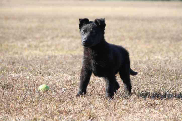 Image For Black German Shepherds For Sale
