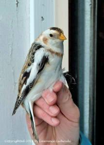 SNBU Bird #100