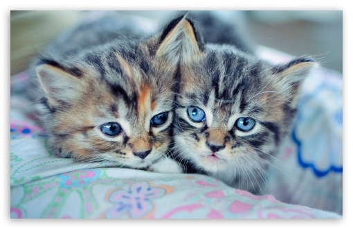 Cute Cats Wallpapers For Iphone Baby Kittens With Blue Eyes 4k Hd Desktop Wallpaper For 4k