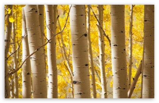 Hd 3d Nature Wallpapers 1080p Widescreen Birch Trees 4k Hd Desktop Wallpaper For 4k Ultra Hd Tv