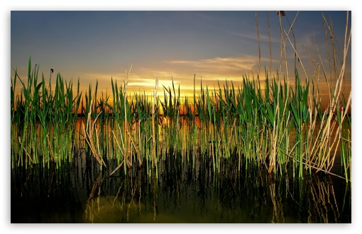 3d Touch Wallpaper Download Iphone Cattails In Pond 4k Hd Desktop Wallpaper For 4k Ultra Hd