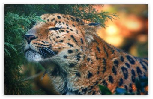 Cute Ipod Touch Wallpaper Cute Amur Leopard 4k Hd Desktop Wallpaper For 4k Ultra Hd
