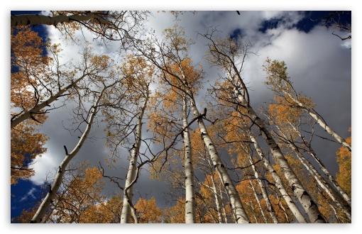 1440p Fall Wallpaper Fall Birch Trees 4k Hd Desktop Wallpaper For 4k Ultra Hd