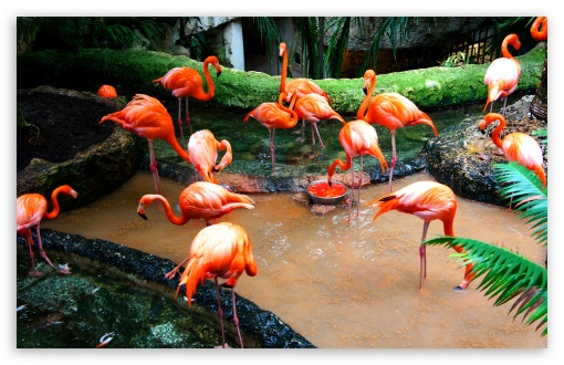 Flamingo Iphone Wallpaper Flemingo Birds 4k Hd Desktop Wallpaper For 4k Ultra Hd Tv
